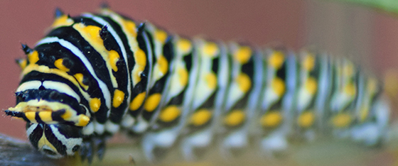 Black swallowtail caterpillar? - Papilio polyxenes