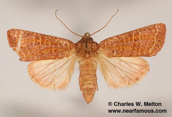Noctuid - Hypotrix alamosa