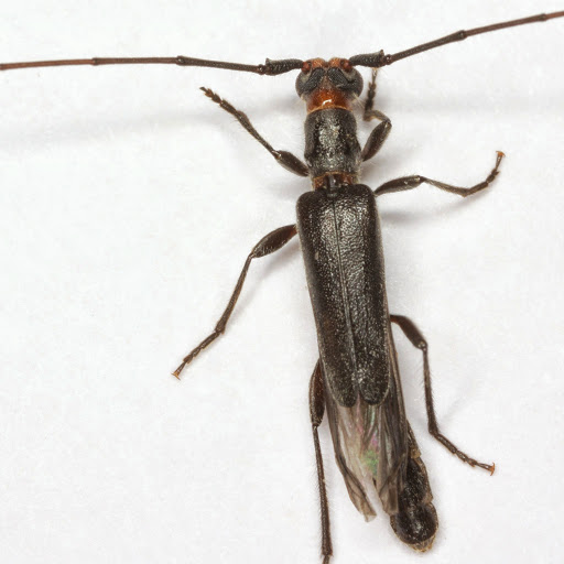 Styloxus bicolor (Champlain & Knull) - Styloxus bicolor