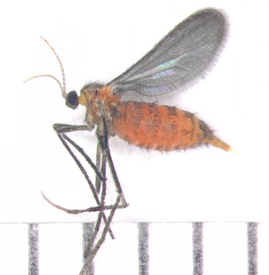 Cecidomyiidae - Rhopalomyia anthophila - female