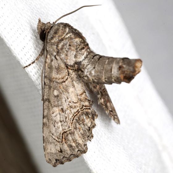 Large Paectes Moth - Hodges #8962 - Paectes abrostoloides