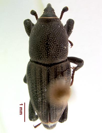 LSAM billbug 23   - Sphenophorus parvulus