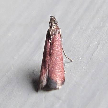 Hodges #6029 - Varneria postremella - Varneria postremella