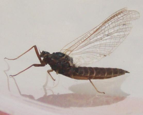 Mayfly #1 - Leptophlebia - female