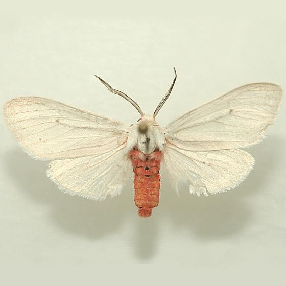 Pinned Adult Male - Euchaetes elegans - male
