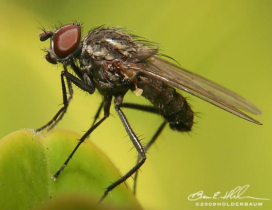 Fly - Delia - male