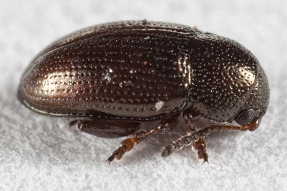 Beetle - Mantura chrysanthemi