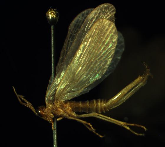 Merope tuber - male