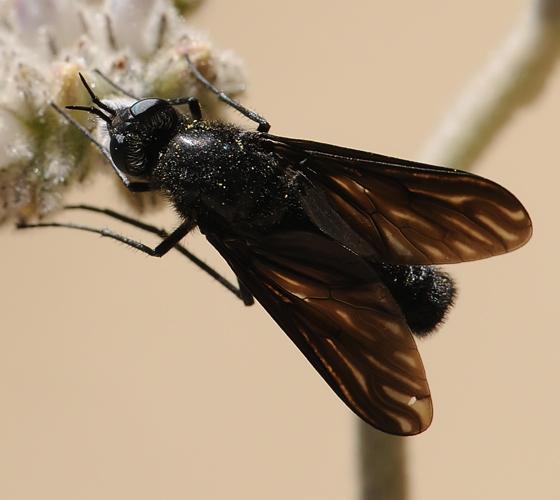 Thevenetimyia notata - female