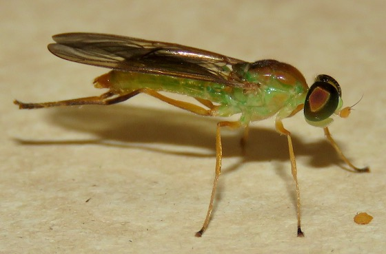 Soldier Fly - Ptecticus trivittatus