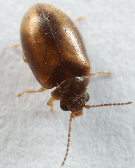 little brown beetle - Contacyphon