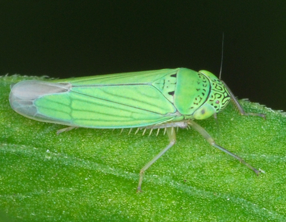 hopper - Hortensia similis
