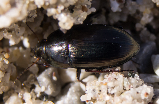 Anisodactylus? - Amara