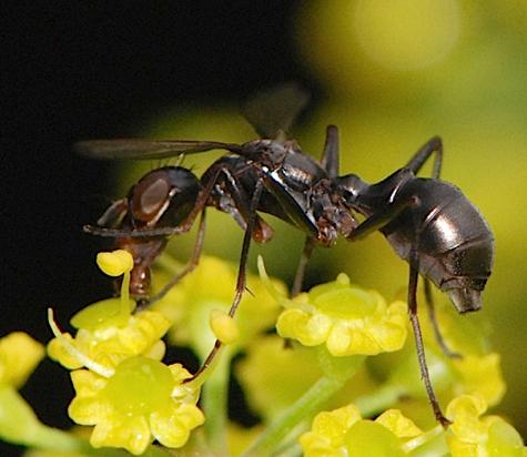 ant mimic fly -  Ulidiidae  - Myrmecothea myrmecoides