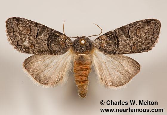 Afilia oslari - female
