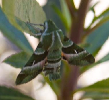 What is this moth? - Proserpinus clarkiae