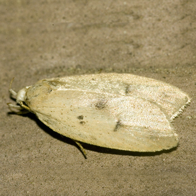 Gold-striped Leaftier Moth - Hodges #0951 - Machimia tentoriferella