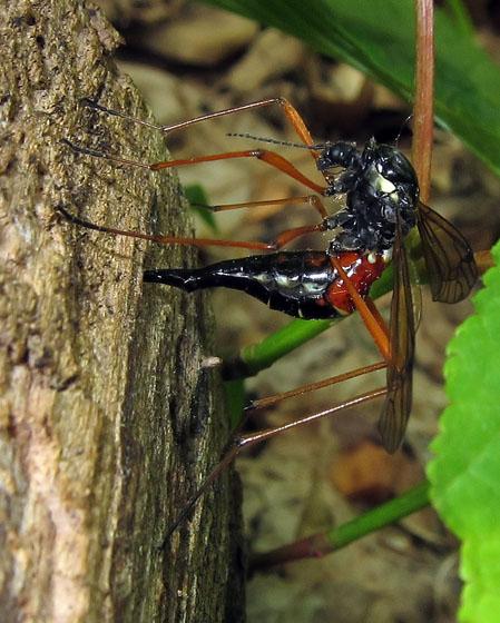 ovipositing wasp - Tanyptera dorsalis - female