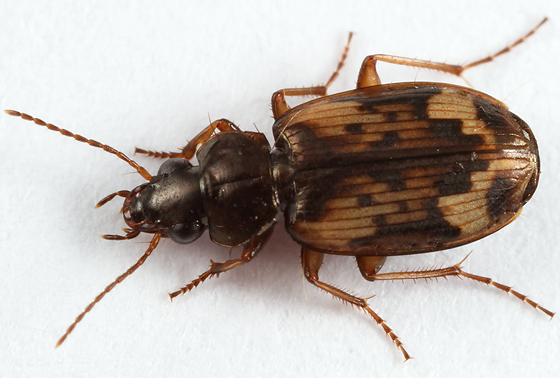 ground beetle - Tetragonoderus