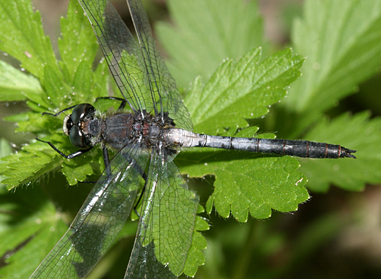 Red-waisted Whiteface - Leucorrhinia proxima - male