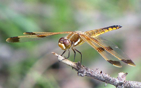 Painted Skimmer - Libellula semifasciata - male