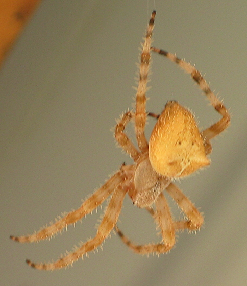 Cat Face Spider - Araneus gemmoides