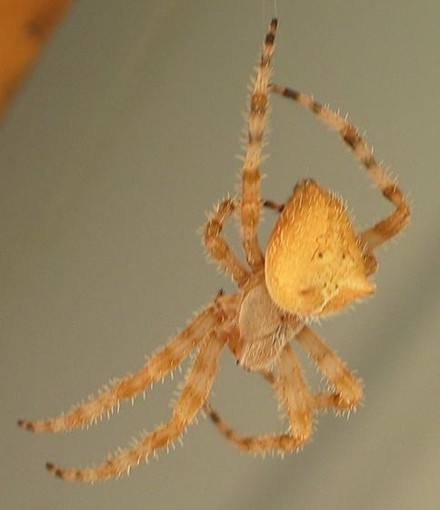 Cat Face Spider - Araneus gemmoides