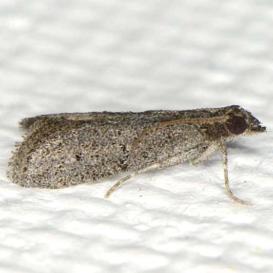 Unidentified moth - Cacotherapia