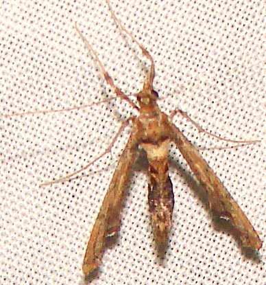Moth - Atomopteryx solanalis