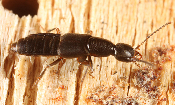 Rove Beetle - Erichsonius