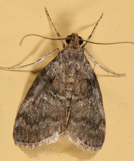Maple Webworm Moth - Pococera asperatella
