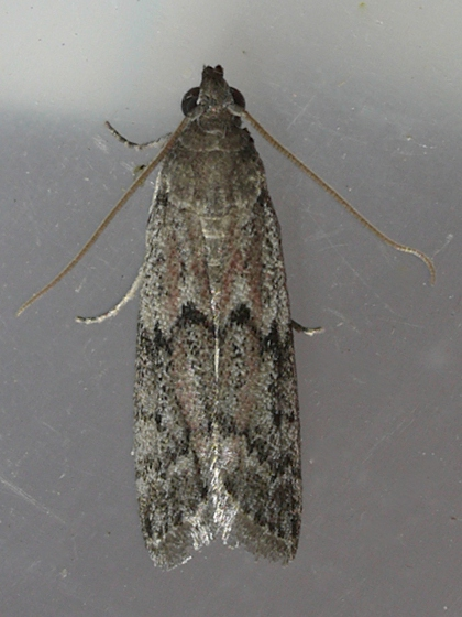Dried Fruit Moth - Vitula edmandsii