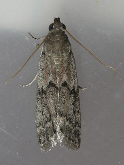 Dried Fruit Moth - Vitula edmandsii