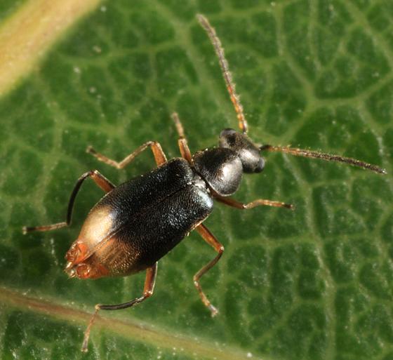 Soft-winged Flower Beetle - Hypebaeus oblitus - male