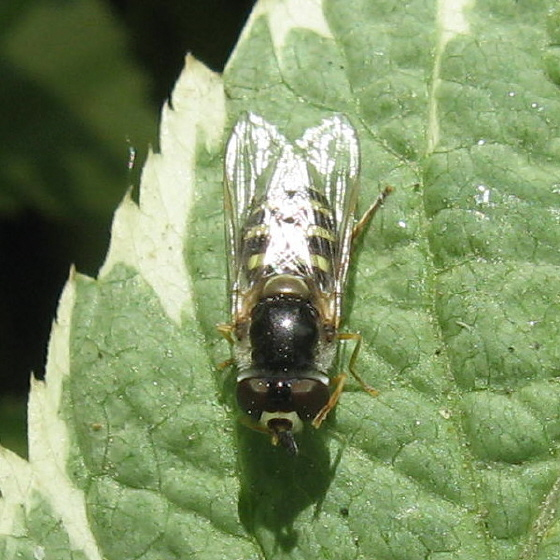 Syrphidae 02b - Eupeodes volucris