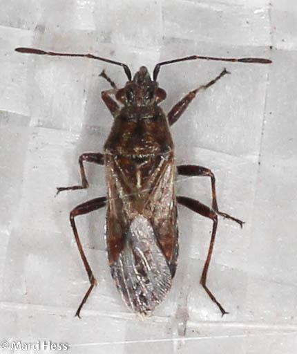 Arhyssus nigristernum - Neortholomus scolopax