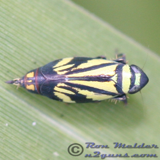 Leafhopper - Stirellus bicolor - female
