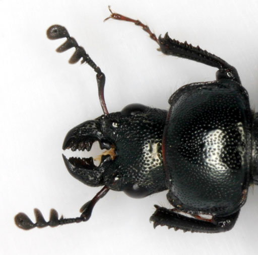 Small Stag Beetle - Platycerus quercus - male