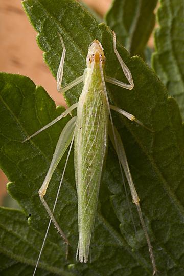 snowy tree cricket - Oecanthus fultoni - female