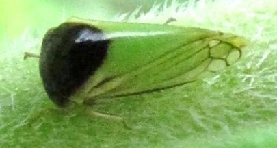 membracid - Acutalis tartarea