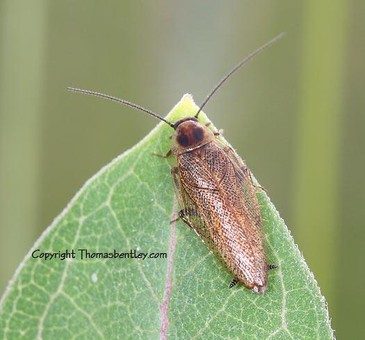 Cockroach - Ectobius lapponicus - male