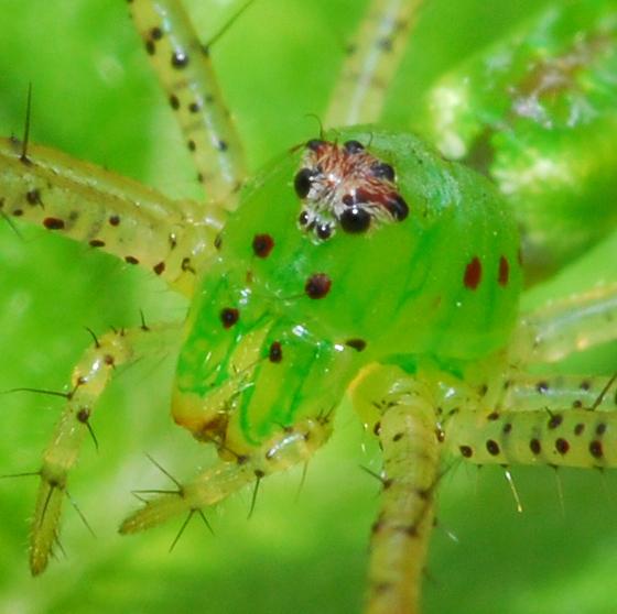 spider - Peucetia viridans