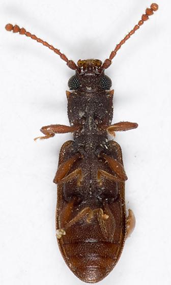 Silvanid Flat Bark Beetle - Silvanoprus angusticollis
