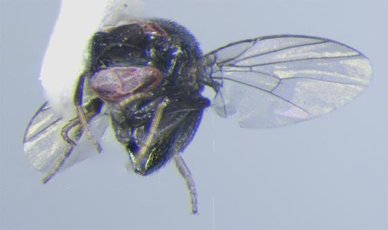 diptera: cryptochetidae - from Alameda, California - Cryptochetum iceryae