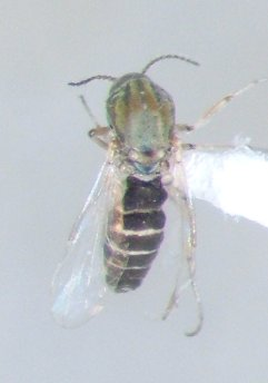 Dasyhelea - female