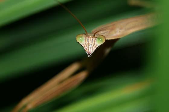 Immature Chinese Mantid - Tenodera sinensis - female