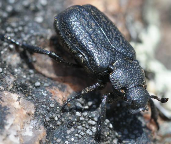 ?? - Cremastocheilus castaneae