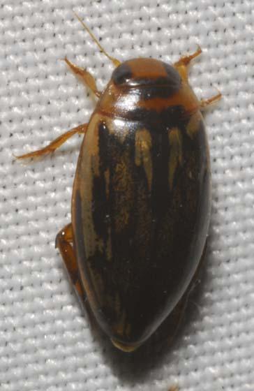 Coptotomus - Coptotomus venustus