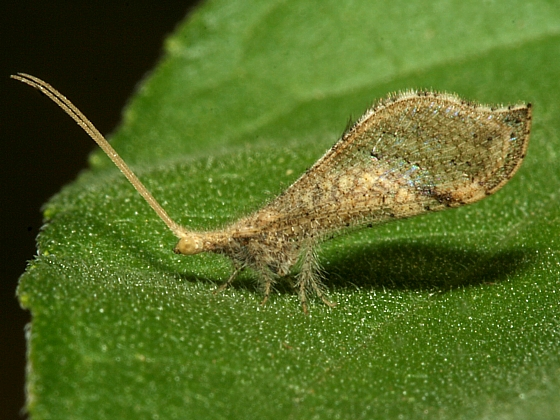 Lacewing - Lomamyia