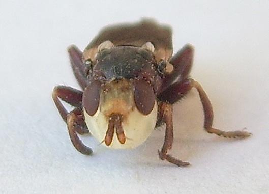 Thick-headed Fly - Myopa